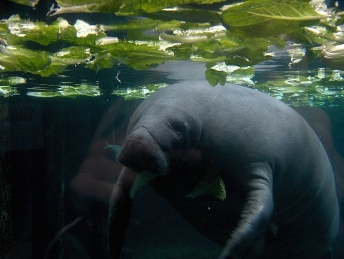 Manatee Death Toll Hits Record In Florida, 'Red Tide' Blamed