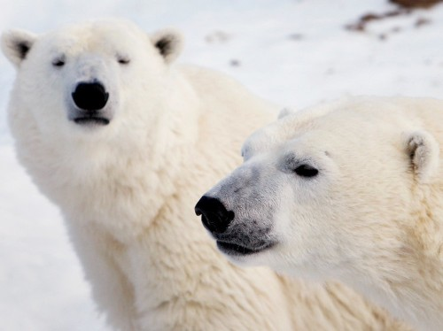 Researchers have discovered the first pair of identical polar bear twins