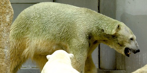 Polar bears aren't actually white, and sometimes they can turn green