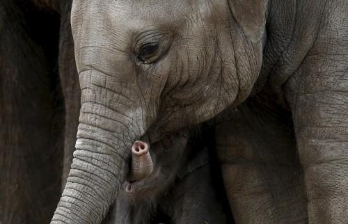 Elephants can smell quantity, a study suggests. It's a new level of olfactory prowess.