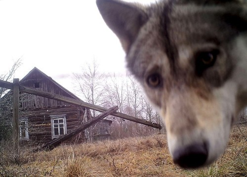 The Chernobyl and Fukushima nuclear meltdowns have had disturbing effects on local wildlife