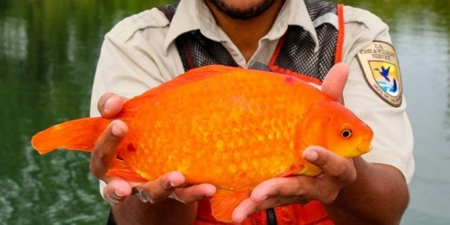 14-inch goldfish was found swimming in the Niagara River
