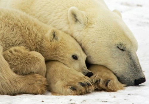 Climate change could slash polar bear numbers 30% by 2050