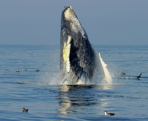 Australian humpback whale comeback a 'symbol of hope'