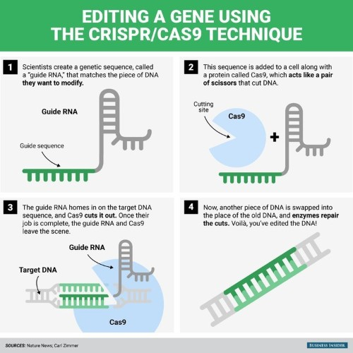 CRISPR, the gene-editing tech that's making headlines, explained in one graphic