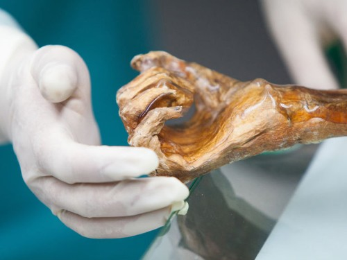 The gut bacteria from a 5,300-year-old iceman is helping to reveal clues on human migration