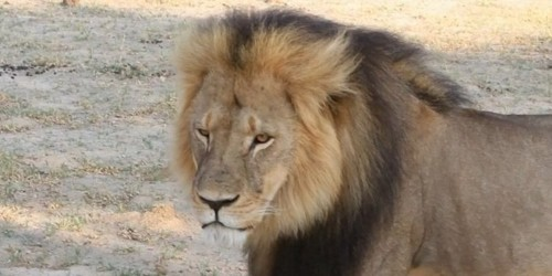 Beautiful footage of Cecil before he was killed and why he was so important to Zimbabwe