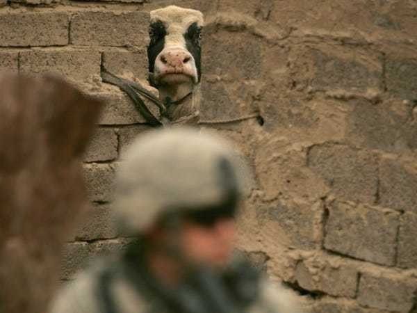 ISIS using cows with bombs in place of suicide missions: NYT report - Business Insider