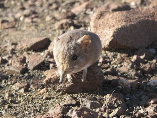 Scientists Discover A Mouse-Like Mammal Related To Elephants