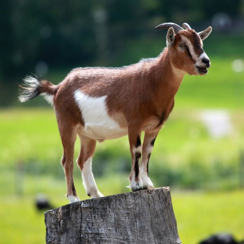 Goats might be more like dogs than we thought — here's why