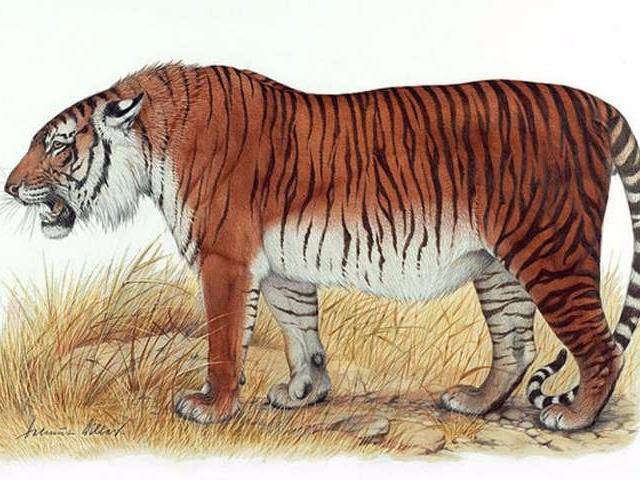 Scientists want to bring back a 300-pound tiger that went extinct in the '60s