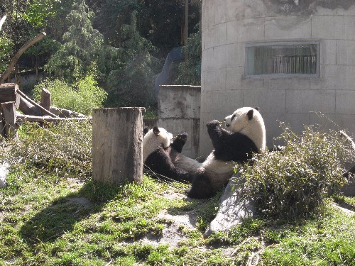 A giant panda 'faked pregnancy' to get better treatment