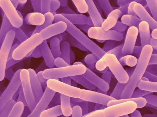A daily capsule of probiotic bacteria may help people cope with anxiety and memory problems