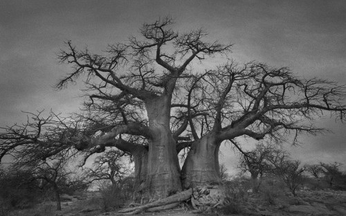 Powerful photos of the world's oldest trees