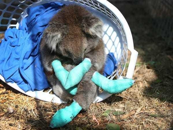 Devastating images of burned animals emerging from Australia - Business Insider