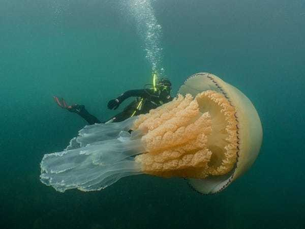 Human-sized jellyfish caught on camera in the English Channel - Business Insider