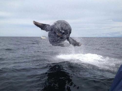 Alaska Humpback Whales Are Making A Comeback