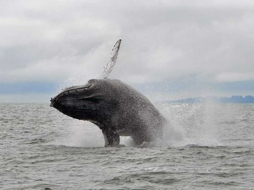 Dozens of whales are gathering around one part of the northern California coast