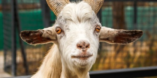 Twitter CEO Jack Dorsey says Mark Zuckerberg once served him a goat he apparently killed himself
