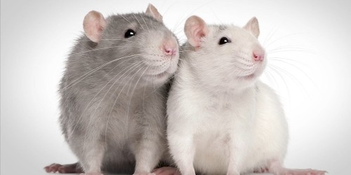 Researchers tested a rat's empathy by giving it a choice between chocolate and a drowning friend
