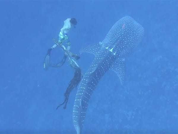 Video shows free-diving family saving a whale shark tangled in fishing net - Business Insider