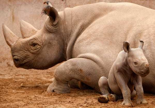 Why genetic diversity is critical to the survival of endangered rhinos - Business Insider