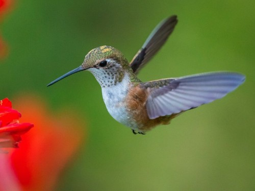 Amazing footage debunks the 200-year-old theory of how hummingbirds get their food