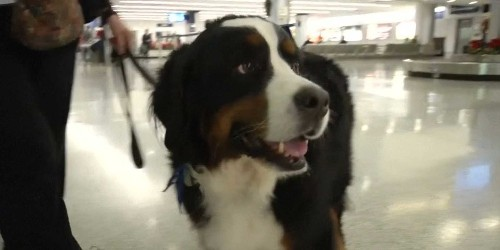 Airports are using therapy dogs to calm stressed-out holiday travelers