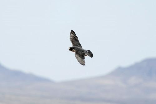 Biologist study finds mercury in predator peregrine falcons