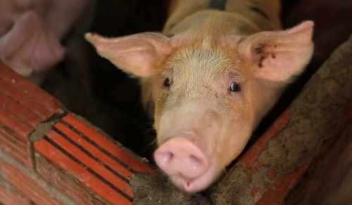 Chinese hog farmer breeds pig size of polar bear during pork shortage - Business Insider
