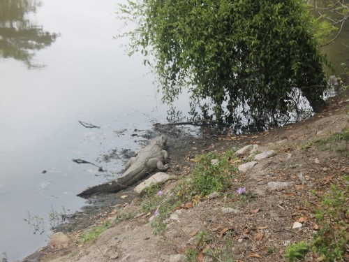 Large alligator-like creatures are living around Rio's Olympic sites