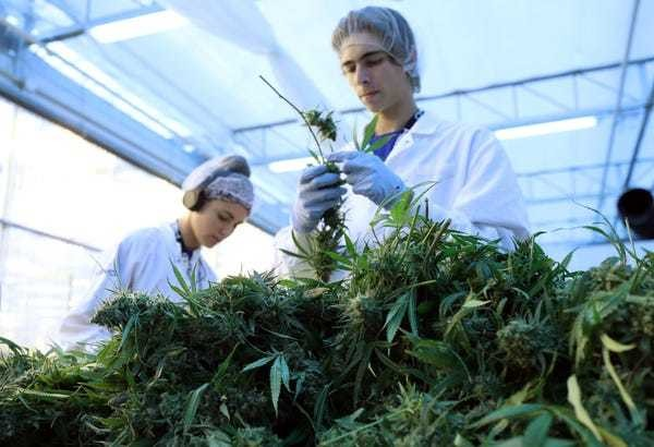 How much do cannabis industry jobs pay? Vangst salary guide for 2019 - Business Insider