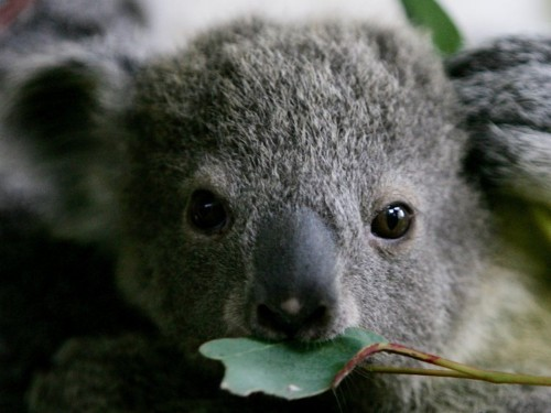An Australian dog saved a baby koala's life by snuggling with it — and now they're best friends