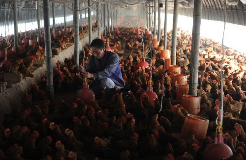 Nobody knows why 320,000 chickens were killed in South Carolina, but it looks like an inside job