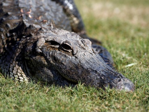 Hungry, hungry alligators are invading a Florida neighborhood in search of food