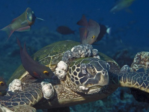 A nasty disease is attacking Florida's sea turtles — and scientists aren't sure why
