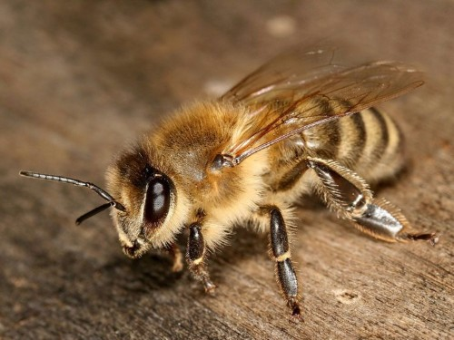 The honey bee is facing an existential threat — and it could be very bad for humans