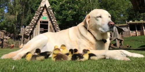 A dog adopted 9 ducklings after their mom disappeared, and it's impossibly cute