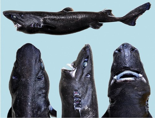 Scientists just discovered a weird new shark that glows in the dark, so they officially named it the 'ninja lanternshark'