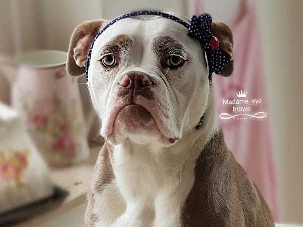 Madame Eyebrows is the saddest looking dog on the internet - Business Insider