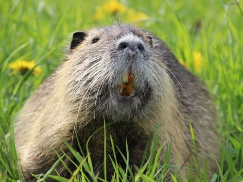 20-pound rodents are invading California — and officials don't know how to stop them