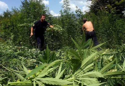 The government in Europe's biggest marijuana producer has destroyed 2.3 million cannabis plants