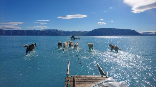 Photos: Dogs walk in melted Greenland sea ice, stark reminder