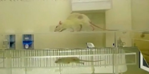 Paralysed rats walk again after breakthrough surgery using stem cells from a human's mouth