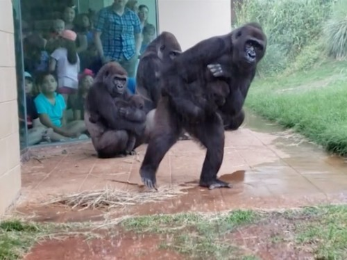 A group of gorillas tried to avoid getting caught in the rain at a zoo in South Carolina