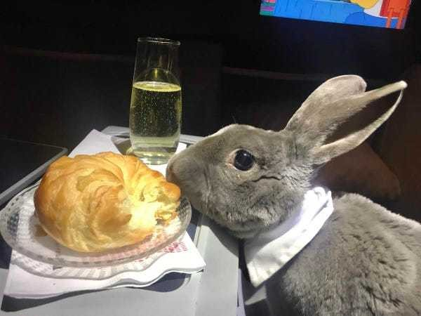 Photos: A bowtie-wearing rabbit flew business class - Business Insider