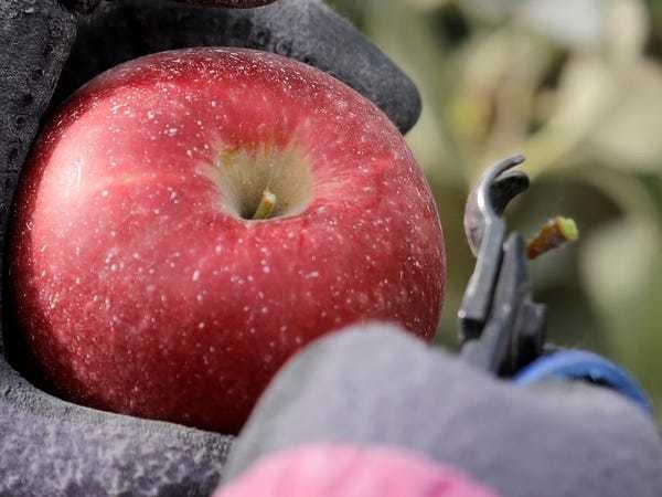 Farmers have invested millions in the new Cosmic Crisp apple variety - Business Insider