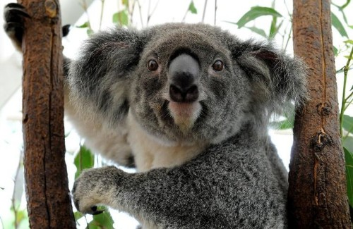 Australian officials: We're 'determined to do everything we can' to protect koalas