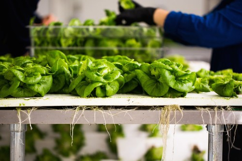 This giant warehouse farm says it can grow 100 times more greens per square foot than traditional farms