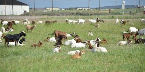 Here's why the Air Force is scattering 600 goats over one of its bases for 8 weeks
